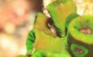 エボシカクレエビ属の一種